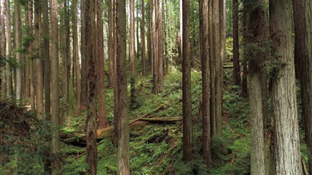 vídeos y material grabado en eventos de stock de el bosque de redwoods cerca de arcata en el norte de california, ee.uu. costa oeste. video drone con el movimiento descendente de la cámara entre los árboles. - bosque de secuoyas