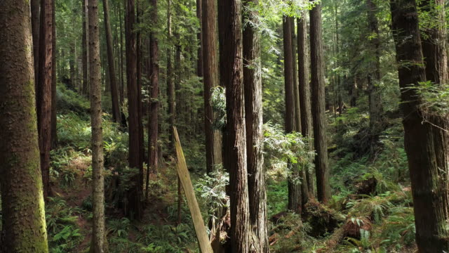 the redwoods forest near arcata in northern california, usa west coast. drone video with the complex camera backward, then panning, motion, flying forward between the trees. - coast redwood stock videos & royalty-free footage