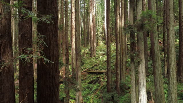 the redwoods forest near arcata in northern california, usa west coast. drone video with the camera flying forward between the trees, panning and backward cinematic motion. - sequoia stock videos & royalty-free footage