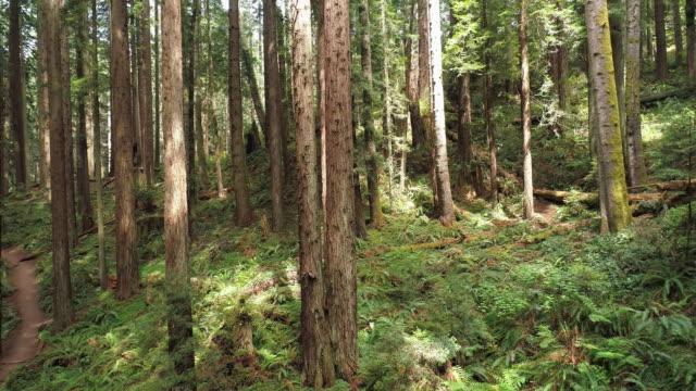 vídeos de stock, filmes e b-roll de a floresta dos redwoods perto de arcata em califórnia do norte, costa ocidental dos eua. vídeo drone com a câmera voando para trás entre as árvores. - sequoia sempervirens