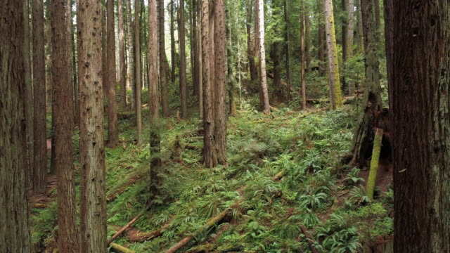the redwoods forest near arcata in northern california, usa west coast. drone video with the camera flying forward between the trees. - coast redwood stock videos & royalty-free footage