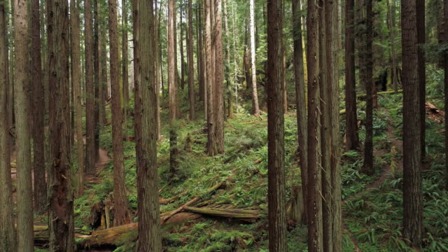 the redwoods forest near arcata in northern california, usa west coast. drone video with the camera flying forward between the trees. - fern stock videos & royalty-free footage