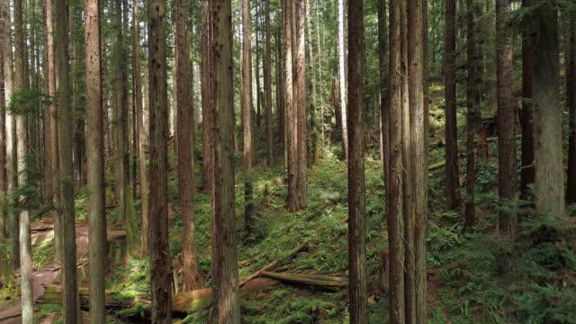 stockvideo's en b-roll-footage met de redwoods forest in de buurt van arcata in noord-californië, usa west coast. drone video met de achterwaartse en aflopende camera beweging tussen de bomen. - sequoiafamilie