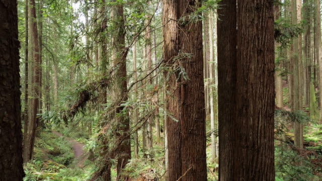 the redwoods forest near arcata in northern california, usa west coast. drone video with the camera panning between the trees. - coast redwood stock videos & royalty-free footage
