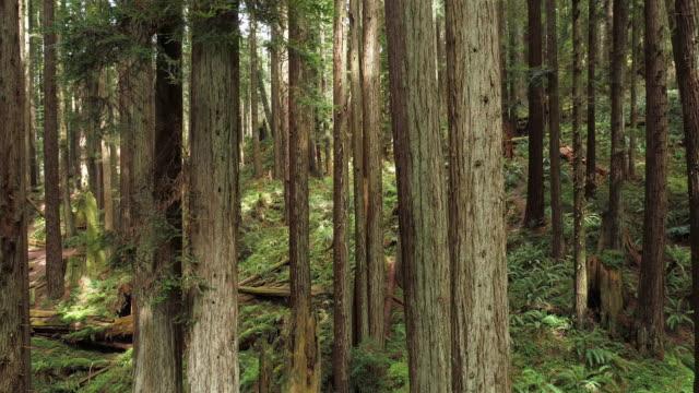 vidéos et rushes de la forêt de séquoias près d'arcata en californie du nord, côte ouest des etats-unis. vidéo de drone avec la caméra volant vers l'avant entre les arbres, panoramique mouvement cinématographique. - séquoia