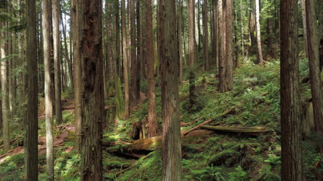 the redwoods forest near arcata in northern california, usa west coast. drone video with the camera ascending between the trees. - coast redwood stock videos & royalty-free footage