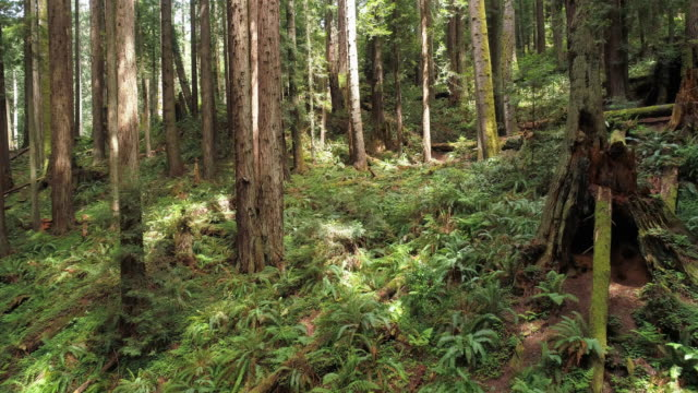 the redwoods forest near arcata in northern california, usa west coast. drone video with the camera flying forward between the trees. - northern california stock videos & royalty-free footage