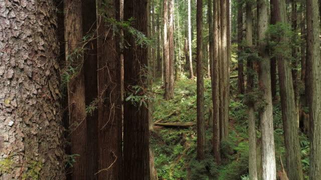stockvideo's en b-roll-footage met de redwoods forest in de buurt van arcata in noord-californië, vs west kust. drone-video met de camera die naar voren vliegt tussen de bomen, pannen en achterwaarts filmische beweging. - sequoiafamilie