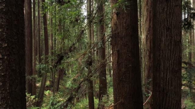vidéos et rushes de la forêt de séquoias près d'arcata dans le nord de la californie, usa côte ouest. drone vidéo avec la caméra volant vers l'avant entre les arbres, panoramique mouvement cinématographique. - branche partie d'une plante