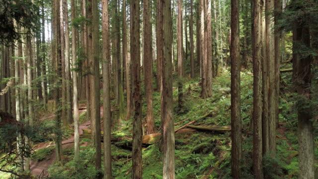 vídeos de stock, filmes e b-roll de a floresta redwoods perto de arcata no norte da califórnia, costa oeste dos eua. vídeo de drone com a câmera voando para a frente entre as árvores. - sequoia sempervirens