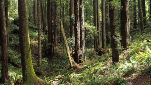 the redwoods forest near arcata in northern california, usa west coast. drone video with the complex forward and descending, then ascending, camera motion, flying between the trees. - northern california stock videos & royalty-free footage