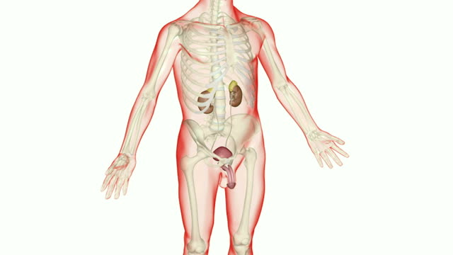 the renal system - male likeness stock videos & royalty-free footage