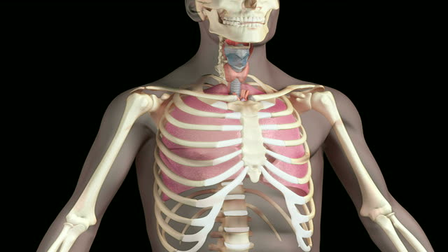 the respiratory system - bronchi stock videos & royalty-free footage