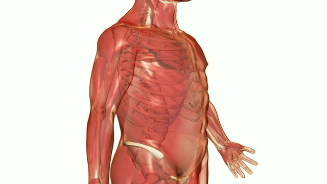 the ribcage - cartilagine video stock e b–roll