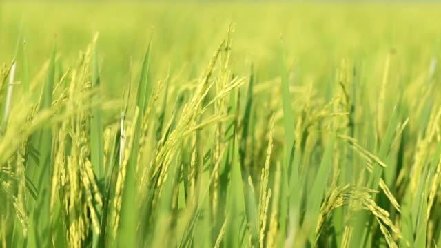 vidéos et rushes de les rizières avec le vent soufflant. - cereal plant