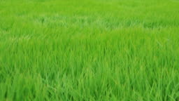 The rice swaying with the force of the wind