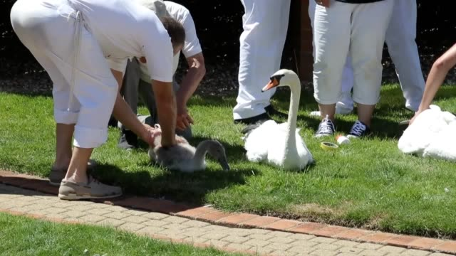 the ritual known as swan upping dates back to the 12th century when the ownership of all unmarked mute swans in open water in britain was claimed by... - swan stock videos & royalty-free footage