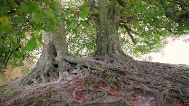 the roots of the famous beach trees, at avebury, wiltshire, uk - obelisk stock videos & royalty-free footage
