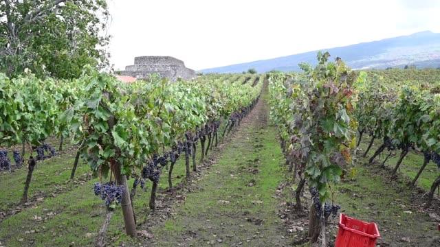 the rows of the al-cantara winery vineyard located in the randazzo area on 14 october 2020 in catania, italy. last days of harvesting on etna with... - redigerat segment bildbanksvideor och videomaterial från bakom kulisserna