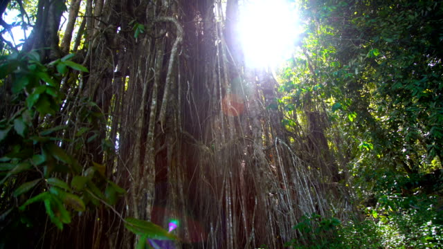 the sacred banyan tree part of marquesan culture - polynesian culture stock videos & royalty-free footage