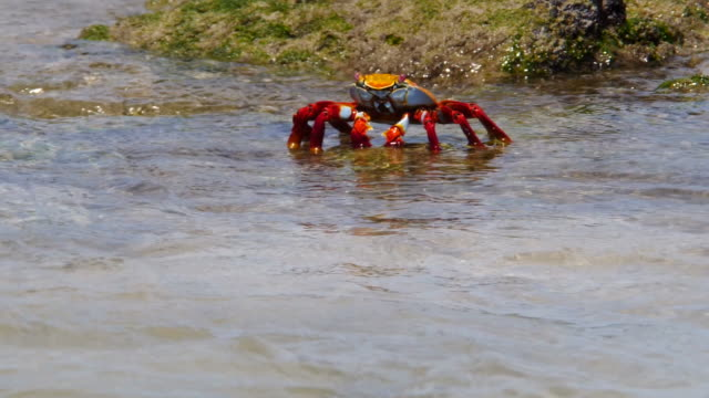 the sally lightfoot crab diving into the water in galapagos islands - galapagos islands stock videos & royalty-free footage