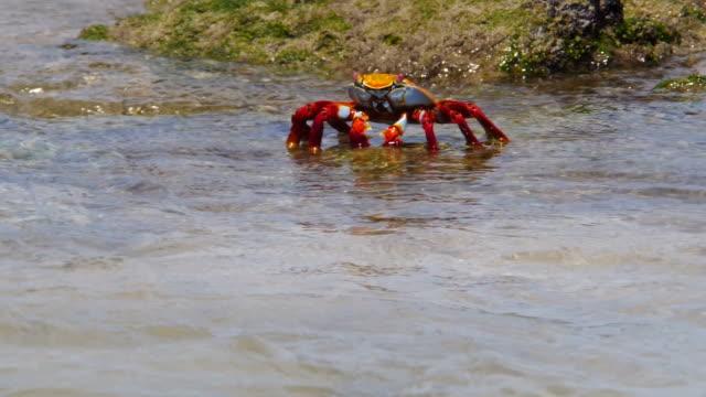 the sally lightfoot crab diving into the water in galapagos islands - galapagosöarna bildbanksvideor och videomaterial från bakom kulisserna