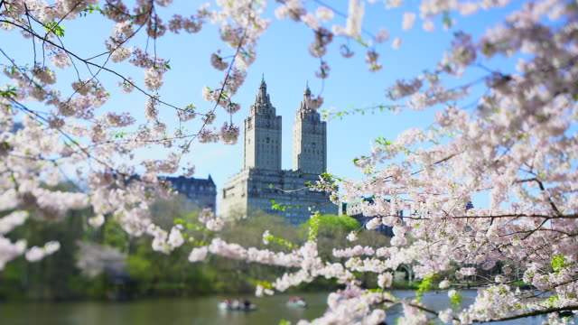 the san remo tower and central park historical district residences can be seen through among the cherry blossom trees in central park new york city ny usa on apr. 17 2019. - remo stock videos and b-roll footage