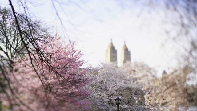 the san remo twin towers stand in central park west historical district behind the cherry blossom trees in central park new york city ny usa on apr. 16 2019. - remo stock videos and b-roll footage
