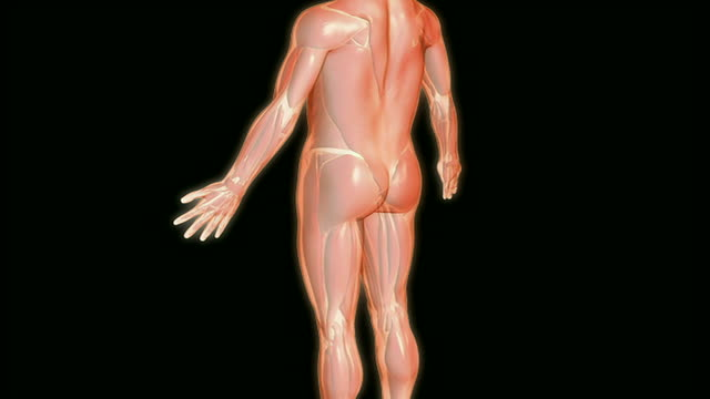 the sciatic nerve - biomedical animation stock videos & royalty-free footage