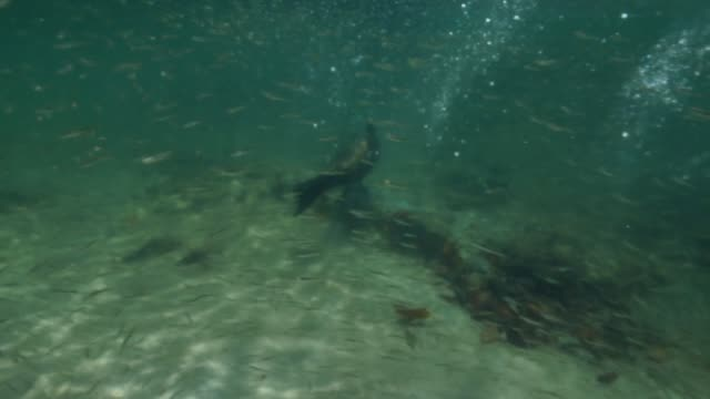 the sea lion swimming under the sea in galapagos islands - seals stock videos and b-roll footage