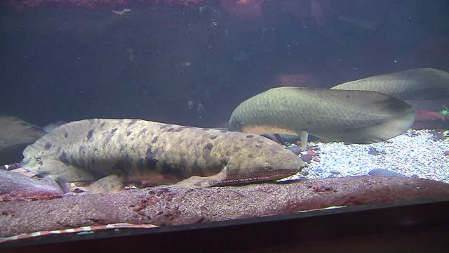 the shedd aquarium threw a party for of a 80yearold lungfish named grandad lungfish sitting on the bottom of a fish tank at the shedd aquarium on... - shedd aquarium stock videos and b-roll footage