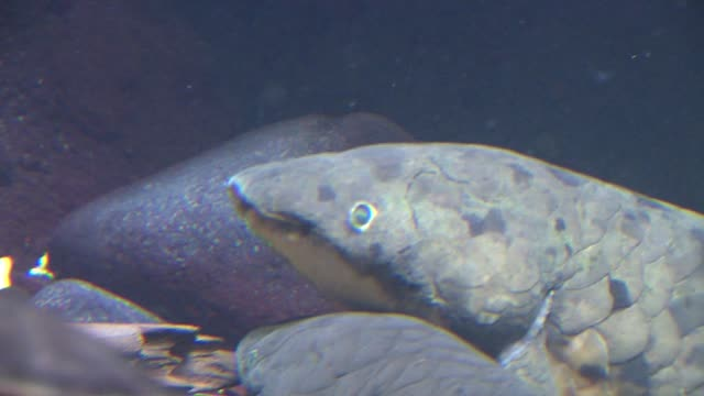 the shedd aquarium threw a party for of a 80yearold lungfish named grandad lungfish's face at the shedd aquarium on september 17 2013 in chicago... - shedd aquarium stock videos and b-roll footage
