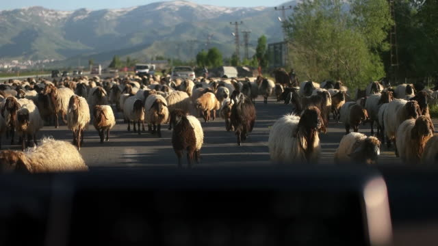 the sheep is moving along the highway - flock of sheep stock videos & royalty-free footage