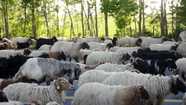 vídeos de stock e filmes b-roll de the sheep is moving along the highway - colónia grupo de animais