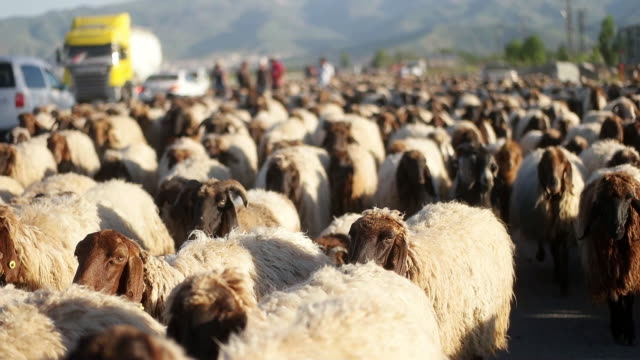 vídeos y material grabado en eventos de stock de las ovejas se mueven a lo largo de la carretera - georgia