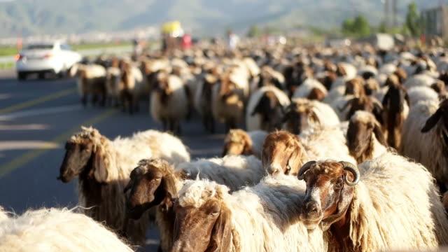 羊は高速道路に沿って移動しています - 羊の群点の映像素材/bロール