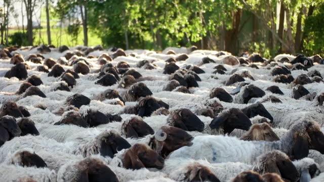 vídeos y material grabado en eventos de stock de las ovejas se mueven a lo largo de la carretera - oficio agrícola