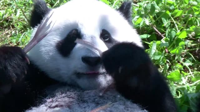 vídeos de stock e filmes b-roll de the shenshuping panda base of the wolong national nature reserve in aba prefecture chengdu province of southwest china occupies over 1300 square... - southwest usa