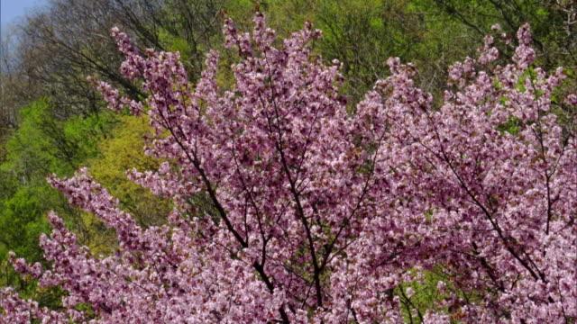 vídeos de stock, filmes e b-roll de the shirakami mountains in the spring - shirakami sanchi