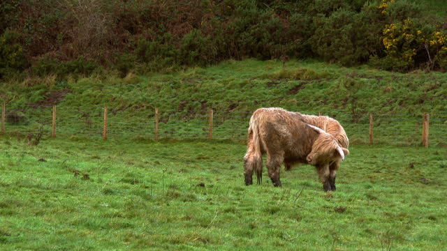 the side view of a light coloured highland cow scratching itself in a field in rural south west scotland on an overcast winter morning - johnfscott stock videos & royalty-free footage