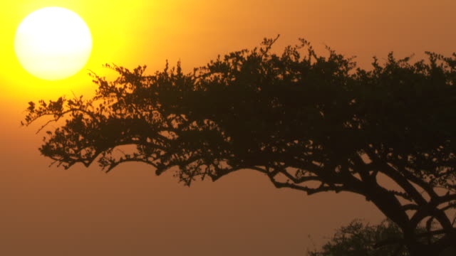 The silhouetted canopy of an acacia tree stretches towards the rising sun, Tanzania.
