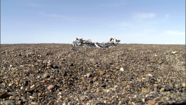 the skeletal remains of a whale lie on stony ground. - remote location stock videos & royalty-free footage