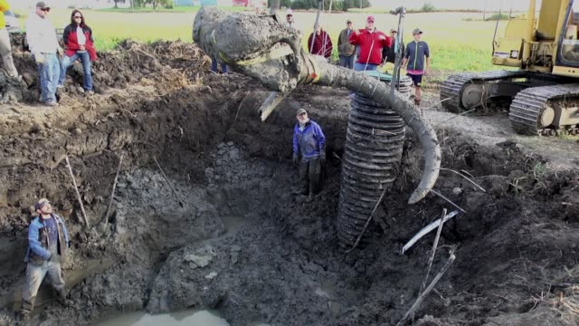 The skull and tusks of a mammoth skeleton are lifted out of a muddy excavation site on a farm in Chelsea Michigan The skeleton of the animal thought...
