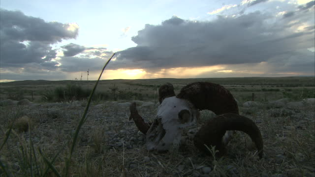 vidéos et rushes de the skull of a bighorn sheep lies in a field. - mammifère