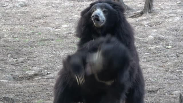 the sloth bears of india are one of the greatest and saddest examples of animal abuse known. also referred to as 'dancing bears', the animals have... - new age stock videos & royalty-free footage