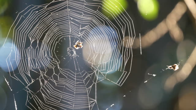 the spider web (cobweb) - animal colour stock videos & royalty-free footage