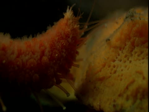 the spidery filaments on the arm of a sea star investigate a shell. - anacortes stock videos & royalty-free footage