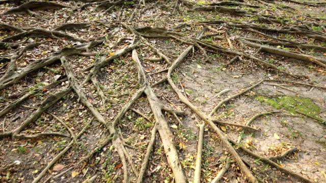 Fördelande rotsystemet av träd på marken
