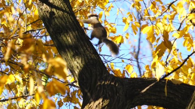 the squirrel is frightened and escapes from the red-tailed hawk on the autumn color trees at central park new york ny usa on nov. 04 2018. - north america stock videos & royalty-free footage