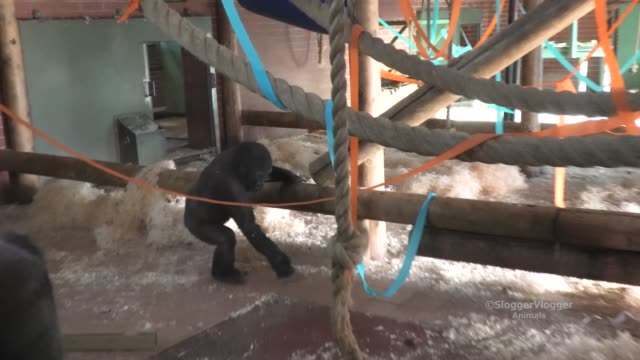 the staff prepares the room for lope's 7th birthday all the ribbons and signs are up with honey placed on top of the gifts inside the boxes there are... - endangered species stock videos & royalty-free footage